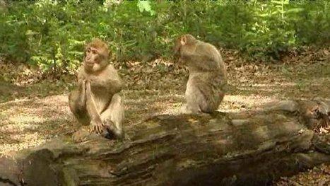 La Montagne des singes, terrain d'études pour les chercheurs – - France 3 Alsace | Biodiversité | Scoop.it