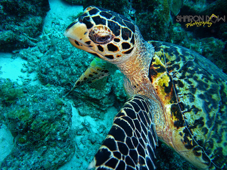 Turtle | Scuba Diving News | Scoop.it
