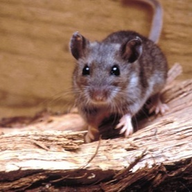 What Caused the Yosemite Hantavirus Outbreak?: Scientific American | Secondary Science Scoop | Scoop.it