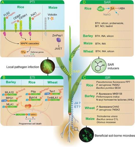 J. Exp. Bot. (2012): On the move: Induced resistance in monocots | Effectors and Plant Immunity | Scoop.it