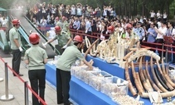 China agrees to phase out its ivory industry to combat elephant poaching | Wildlife Trafficking: Who Does it? Allows it? | Scoop.it
