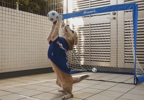 Gardien de but, un métier de chien (VIDEO)   CaniCatNews-actualité   Scoop.it