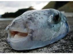 Le «Lagocephalus Sceleratus», poisson dangereux, envahit les mers de la Tunisie | Le flux d'Infogreen.lu | Scoop.it