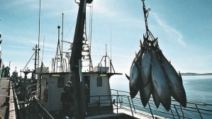 Calls to stop overfishing tuna in the Pacific | All about water, the oceans, environmental issues | Scoop.it
