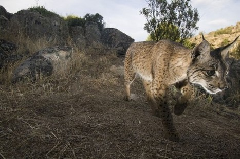 Iberian Lynx in Crisis: Virus Outbreak Threatens the World's Most Endangered Cat | OUR CUDDEDLY WILD CATS... | Scoop.it