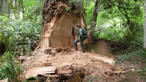 Poachers take chunks from California redwoods, put majestic trees at risk | CNN | Scoop.it