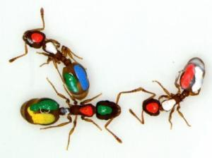 Ants give new evidence for interaction networks | Cognitive Science | Scoop.it