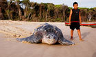 Beachgoers urged to report endangered leatherback turtle sightings | VCE Biology | Scoop.it