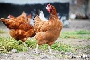 La Marque U ne veut plus vendre d'oeufs de poules élevées en cage | Attitude BIO | Scoop.it