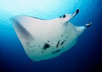Key environmental factors influencing manta ray behavior identified - Science Codex | Citizen Science in Action | Scoop.it