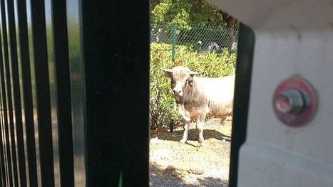 Reportage. Un taurillon échappé d'un abattoir de Perpignan se réfugie à l'aéroport - France 3 Languedoc-Roussillon | Services vétérinaires | Scoop.it