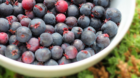 Saskawhat? A Novel Berry Takes Root On Michigan Farms | Food issues | Scoop.it
