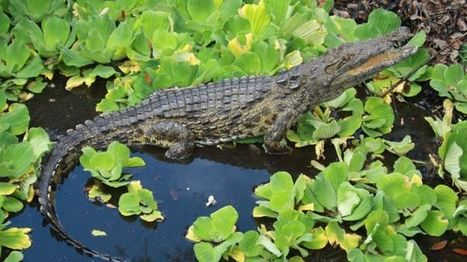 Florida crocodiles: Man-eating Nile beasts confirmed in swamps - BBC News | Jeff Morris | Scoop.it