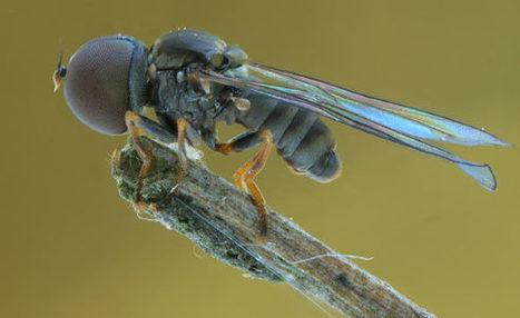 Découverte de trois nouvelles espèces fossiles de mouches à grosse tête | EntomoNews | Scoop.it