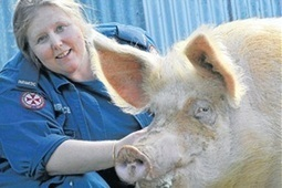 When a pig gets a gig   Teaching Agricultural Science - Pigs   Scoop.it