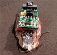Cyborg cockroach obeys your tweets   Remembering tomorrow   Scoop.it