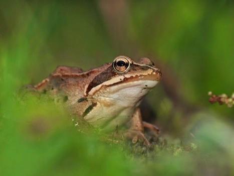 Brown Moor Frogs Turn Blue During Mating Season | Strange days indeed... | Scoop.it