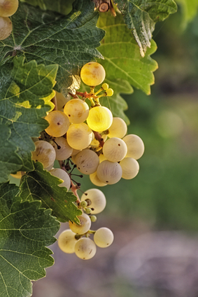 Italian White Wines for Spring | Wines and People | Scoop.it