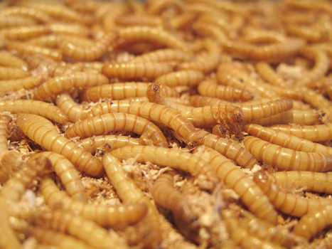 Edible Insect-Farming Hatches New Breed of 'Entopreneurs' | Food Culture Community | Scoop.it