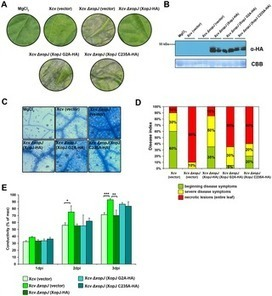 PLOS Pathogens: The Xanthomonas campestris Type III Effector XopJ Targets the Host Cell Proteasome to Suppress Salicylic-Acid Mediated Plant Defence | Plant Biology Teaching Resources (Higher Education) | Scoop.it