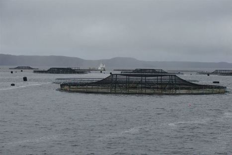 Rare and chronic fish disease mycobacteriosis found for the first time in salmon farmed in Tasmania's Macquarie Harbour - Aquaculture Directory | Aquaculture Directory | Scoop.it