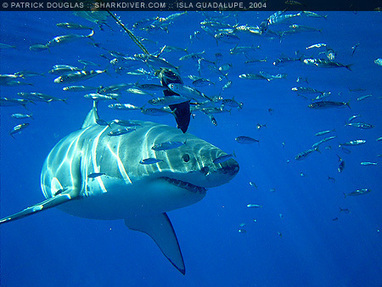 Great White Sharks, Carcharodon carcharias | About great white sharks | Scoop.it