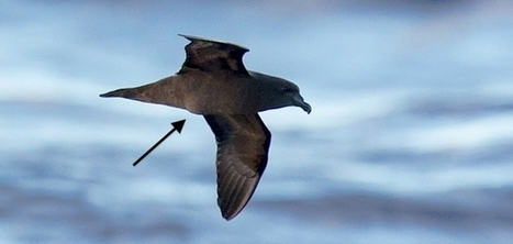 Critically endangered Mascarene Petrel discovered at sea and unique image captured of bird with its egg. | BirdLife | Paneco Press: Species Watch | Scoop.it