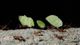 चींटियाँ बन सकती हैं बड़ी समस्या - बीबीसी हिन्दी | वैज्ञानिक सोच | Scoop.it