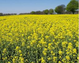 UFOP-Modellanbau Clearfield-Raps abschließend beurteilt   Agrarforschung   Scoop.it