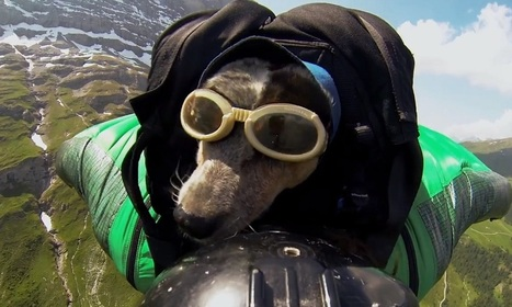This Dog is Enjoying the Wingsuit Base Jumping Like a Human | Animals | Scoop.it