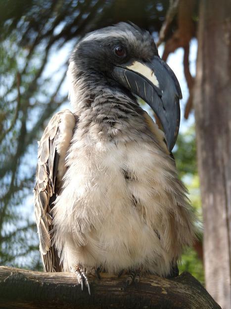 Photos d'oiseaux - Calao à bec noir - Tockus nasutus   Fauna Free Pics - Public Domain - Photos gratuites d'animaux   Scoop.it