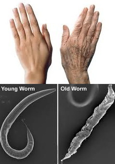 Amazing Science: Aging and Senescence Postings | Amazing Science | Scoop.it