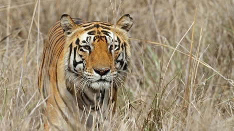 100 & Counting: Tiger Deaths in India This Year Exceed 2015 Toll | Endangered species | Scoop.it