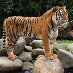 Biologists Home in on Tiger Stripes and Turing Patterns [Slide Show]: Scientific American | morphogenesis and emergence | Scoop.it