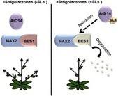 Strigolactone/MAX2-Induced Degradation of Brassinosteroid Transcriptional Effector BES1 Regulates Shoot Branching | Plant hormones | Scoop.it