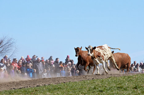 When Danish Cows See Fresh Spring Pasture, They Jump For Joy | Eco-Friendly Lifestyle | Scoop.it