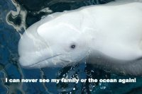 Beluga Whales Need Your Help! | Dolphins | Scoop.it