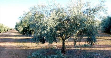 El coste para producir un kilo de aceite llega a 2,47 euros | SCA S. Isidro Labrador CASIL (Marchena-Sevilla) | Scoop.it