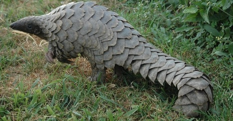 Why the Little Known Pangolin is so Critical to Our Ecosystem | Wildlife Conservation: People and Stories | Scoop.it