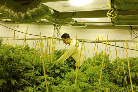 Study: Marijuana legalization doesn't increase crime | Colorado Marijuana (Recreational and Medical) | Scoop.it