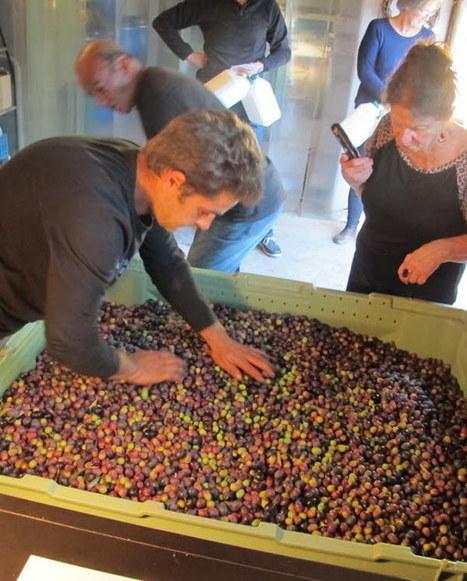 Huile d'olive : cette année, les moulins tournent à plein régime | oléiculture | Scoop.it