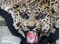 TRAFFIC - Wildlife Trade News - Four Leopards a week enter India's illegal wildlife trade | The Wild Planet | Scoop.it