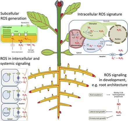 Recent Progress in Understanding the Role of Reactive Oxygen Species in Plant Cell Signaling[OPEN] | Plant Gene Seeker -PGS | Scoop.it