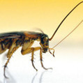 RALEIGH: N.C. State researchers say roach grooming could lead to new pest controls | Health | NewsObserver.com | Research from the NC Agricultural Research Service | Scoop.it