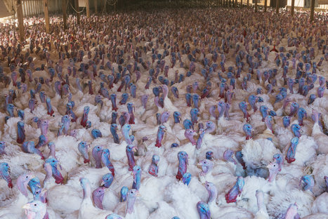 The Looming Threat of Avian Flu | Food issues | Scoop.it