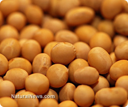 Study: Roundup Ready GM soybeans accumulate poison more than equivilant non-GM soybeans   Plant Based Nutrition   Scoop.it