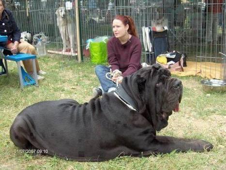 **XXTreme's- Amazing Facts-Neopolitan Mastiff-Italian War Dogs?? | dogs | Scoop.it
