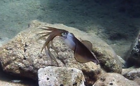 Dinner Plate Squid used to Develop Color-changing Camouflage | Biomimicry | Scoop.it