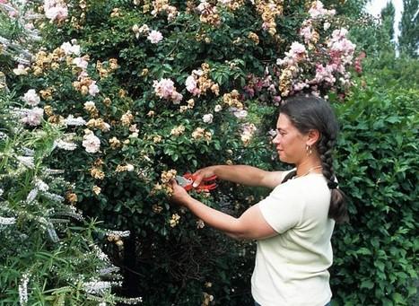 Les soins des arbres, arbustes et rosiers en août | jardins et développement durable | Scoop.it