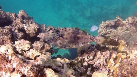 "Florida Reefs Are Dissolving Much Sooner Than Expected (""more bad news for helpless sea life"") 